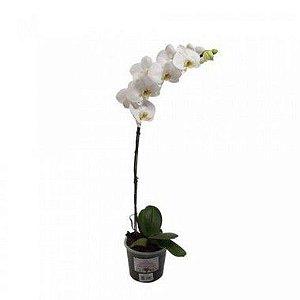 Orquídea Phalaenopsis - Branca