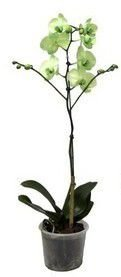 Orquídea Phalaenopsis - Verde