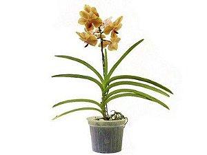Orquídea Vanda - Amarela