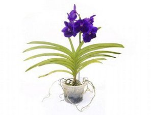 Orquídea Vanda - Lilás