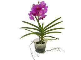 Orquídea Vanda - Rosa