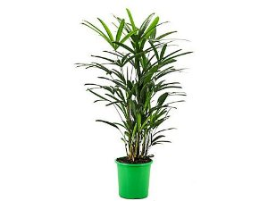 Palmeira Ráfis Premium - Pote 24 (1,00 a 1,30 metros)