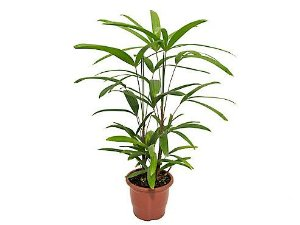 Palmeira Ráfis Premium - Pote 17 (0,50 a 0,60 metros)