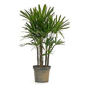 Palmeira Ráfis - 0,60 a 1,00 metro