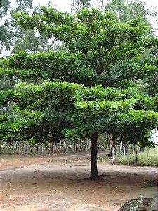 Amendoeira Chapéu De Sol - 1,60 a 2,00 metros