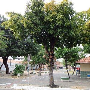 Abricó de Macaco - 0,60 a 1,00 metro