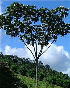Embaúba - 1,80 a 2,20 metros