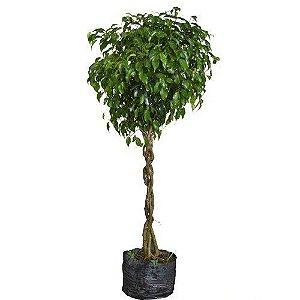 Ficus Benjamina - 1,00 a 1,50 metros