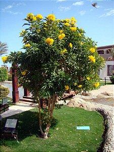 Ipê de Jardim Mirim