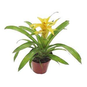 Bromélia Guzmânia Amarela - Pote 14 cm