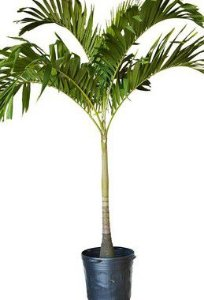 Palmeira Veitchia - 2 metros