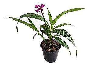 Orquídea Grapete ou Spathoglottis