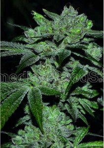 Sour Glue Fotoperíodo Medical Seed's Feminizada