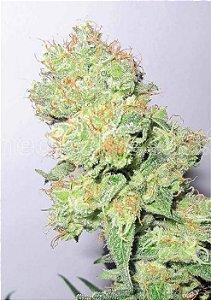 Y Grega CBD Fotoperíodo Medical Seed's Feminizada