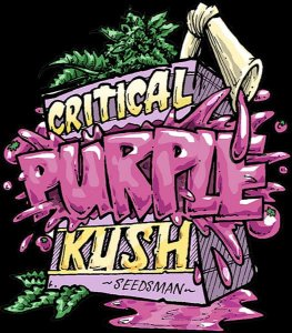 Critical Purple Kush Feminizada Pack c/ 5x