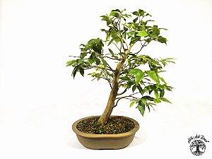 Bonsai Jabuticaba Híbrida (40 cm altura) 8 Anos