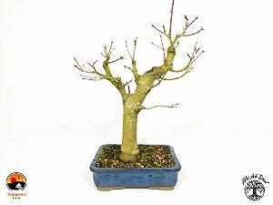 Bonsai Acer Palmatum  (Altura 32 cm)  Acervo Yama-en
