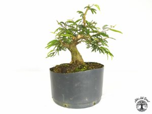 Pré Bonsai Calliandra Rosa  ( 16 cm altura)