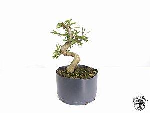 Pré Bonsai Calliandra Rosa  ( 21 cm altura)