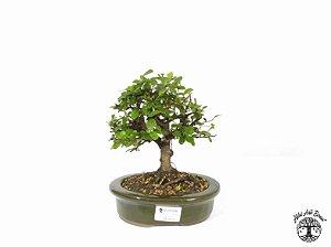 Bonsai Grewia Occidentalis (17 cm Altura) 4 Anos