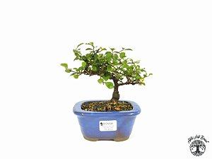 Bonsai Grewia Occidentalis (13 cm Altura) 3 Anos