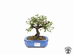 Bonsai Grewia Occidentalis (16 cm Altura) 4 Anos