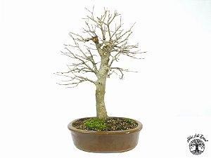 Bonsai Acer Tridente (Altura 43 cm) 15 anos
