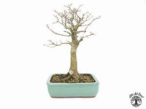 Bonsai Acer Tridente (Altura 37 cm) 15 anos