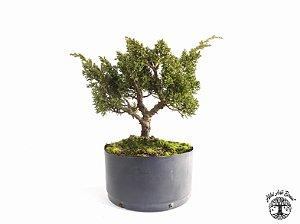 Pré Bonsai Shimpaku Kichu (21 cm altura)