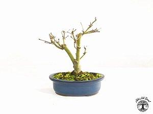 Bonsai Acer Palmatum  (Altura 22 cm)