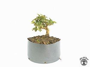 Pré Bonsai Piracanta Amarela (Altura 12 cm)