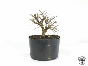 Pré Bonsai Ulmus (Altura 15 cm)