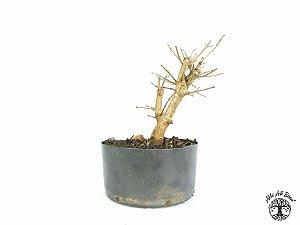Pré Bonsai Acer Tridente (Altura 20 cm)