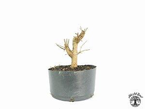 Pré Bonsai Acer Tridente (Altura 17 cm)