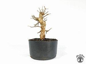 Pré Bonsai Acer Tridente (Altura 21 cm)