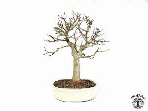 Bonsai Acer Tridente (Altura 38 cm) 17 anos