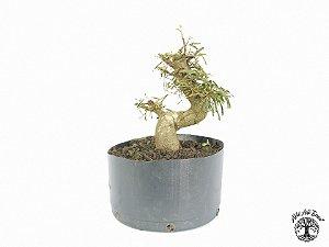 Pré Bonsai Calliandra Rosa  (24 cm altura)