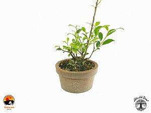 Pré Bonsai Fícus Microcarpa (9 cm altura)