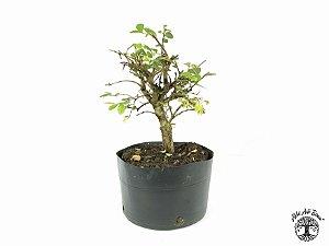 Pré Bonsai Ulmus (Altura 22 cm)