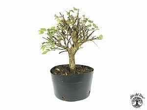 Pré Bonsai Ulmus (Altura 23 cm)