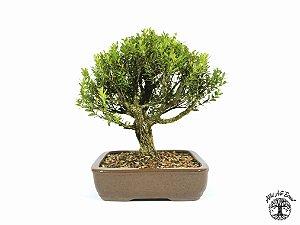 Bonsai Buxus Harlandii (Altura 28 cm) 14 anos