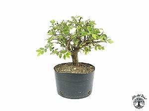Pré Bonsai Ulmus (Altura 21 cm)