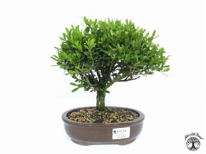 Bonsai Buxus Harlandii (Altura 19 cm) 5 anos