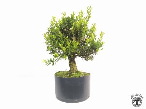 Pré Bonsai Buxus Harlandii (Altura 23 cm)