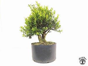 Pré Bonsai Buxus Harlandii tronco duplo (Altura 25 cm)