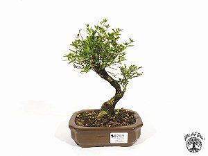 Bonsai  Serissa Branca (19 cm altura) 5 Anos