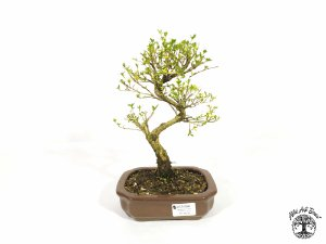 Bonsai  Serissa Branca (23 cm altura) 5 Anos