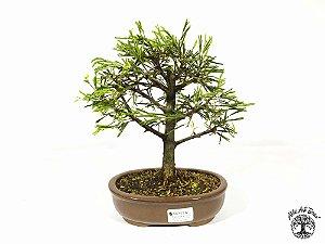 Bonsai Calliandra Rosa  ( 22 cm altura)