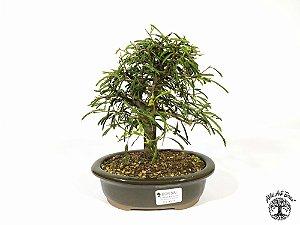 Bonsai Calliandra Rosa  ( 17 cm altura)