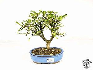 Bonsai Pepper Tree (19 cm altura) 5 Anos